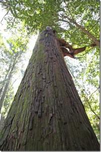 巨木は樹齢400年