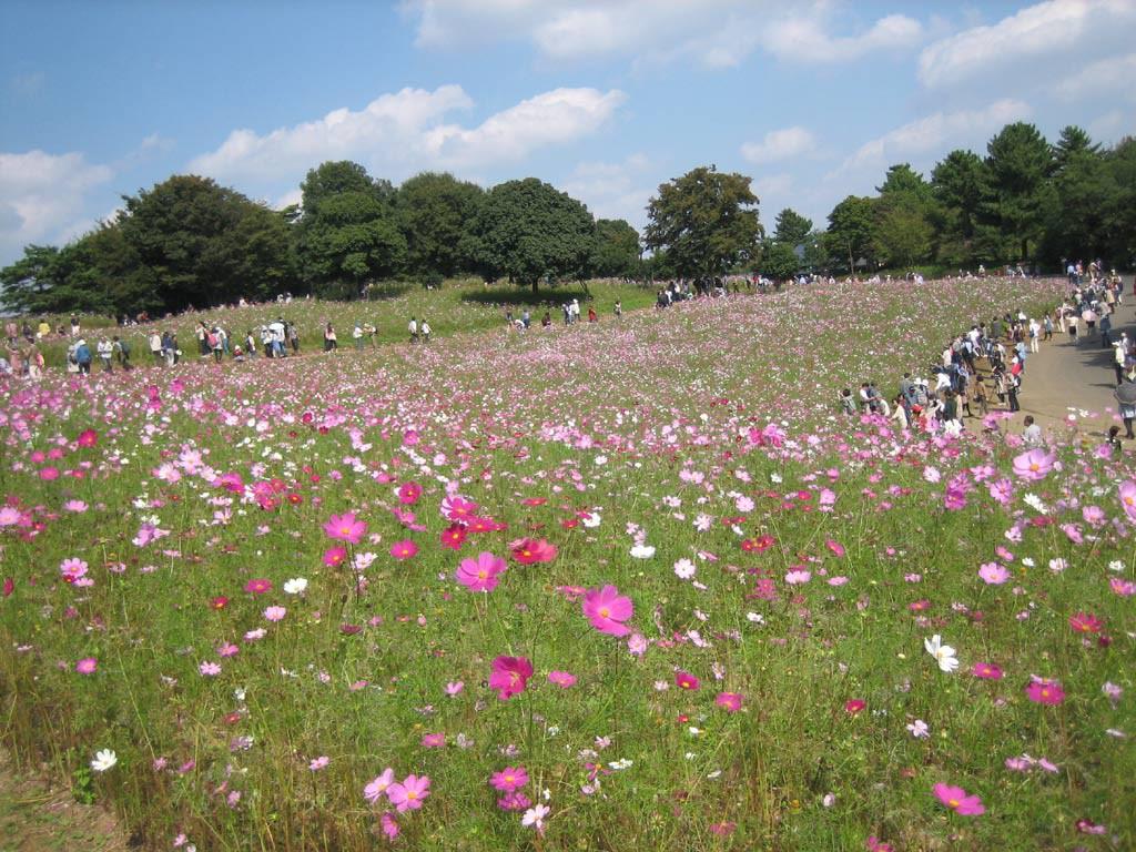 2015年10月国立昭和記念公園コスモス6