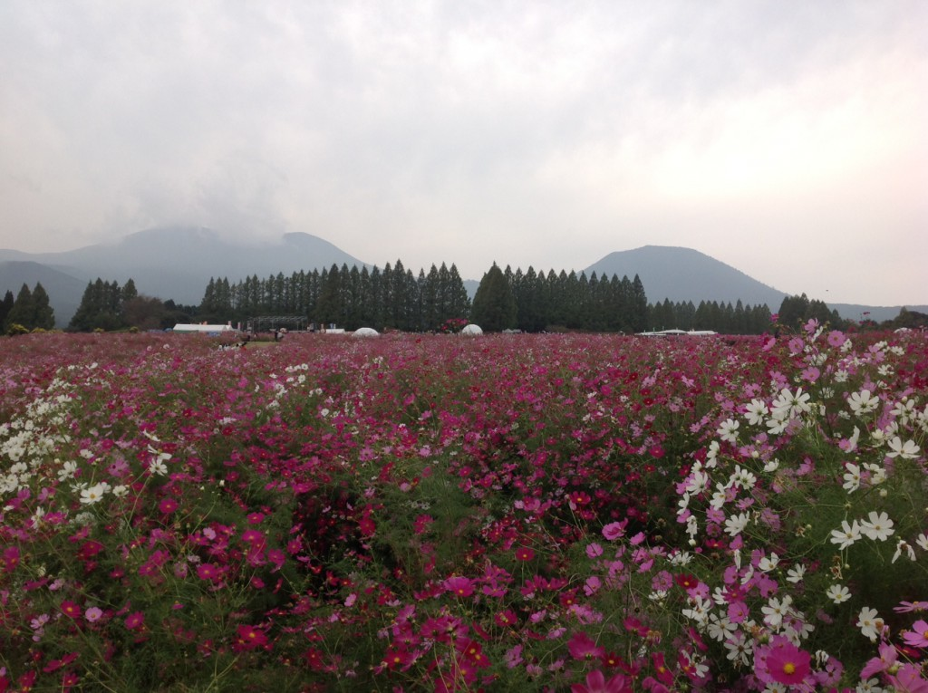 2生駒高原のコスモス