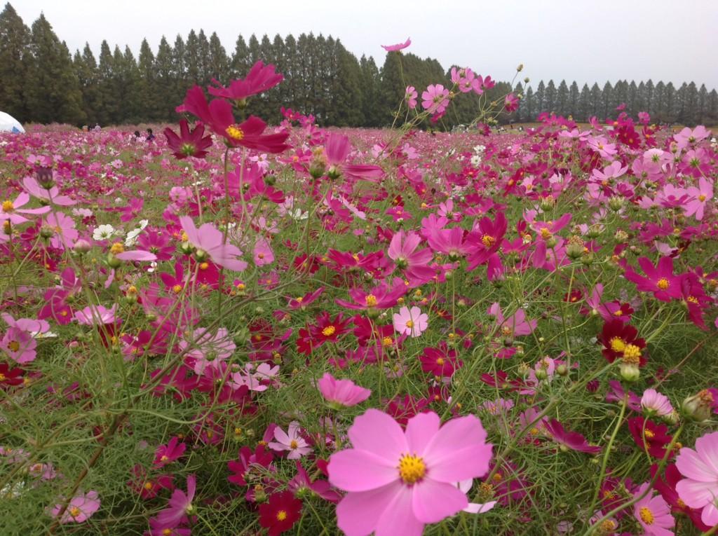 生駒高原のコスモス1