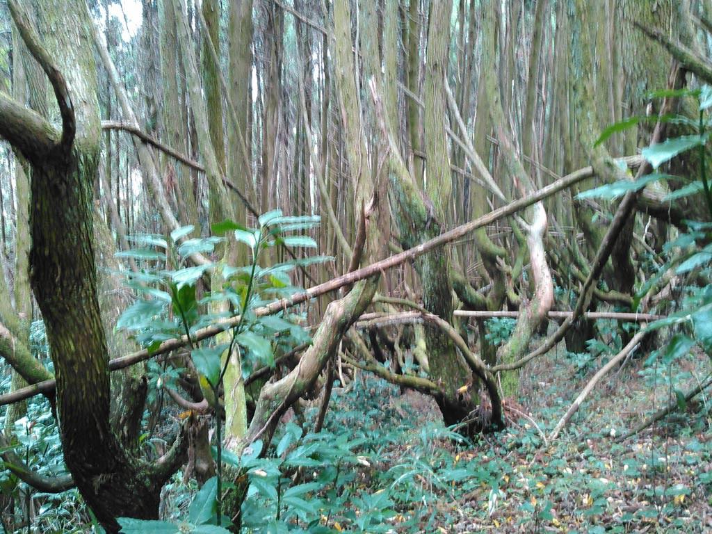穂切り杉の林